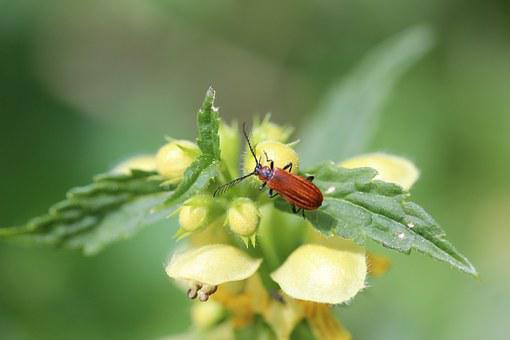 Dead Nettle, Ground Beetles, Insect, Close, Leaf
