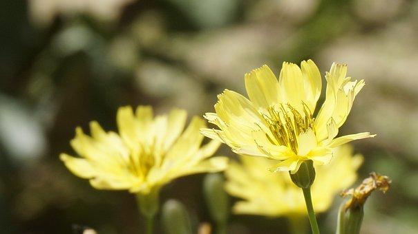 Kumai, Flower, Chrysanthemum