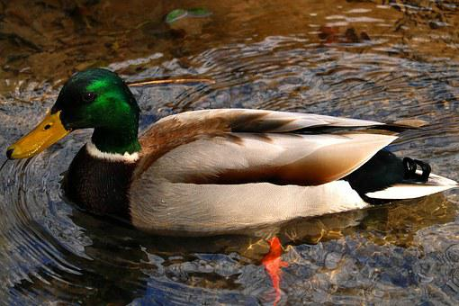 Mallard, Duck, Wildlife, Photography, Wild, Forest
