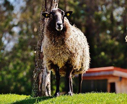 Sheep, Wool, Animal, Meadow, Nature, Winter Coat