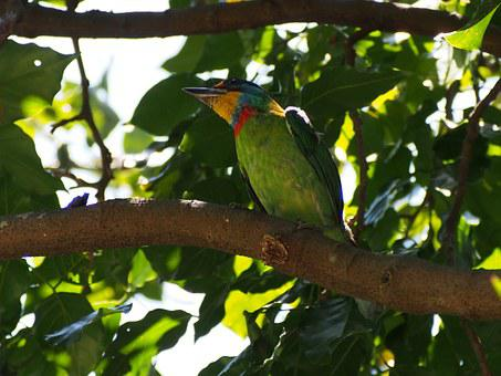 Colored Birds, Quasi Woodpecker, Monk, Muller's Barbet