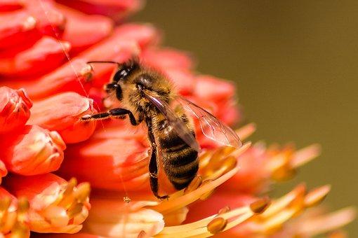 Bee, Insect, Nature, Honey, Yellow, Animal, Bug, Pollen