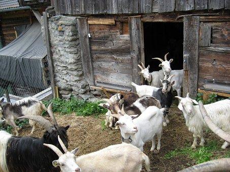 Goats, Many, White, Black, Nature, Wood, Hut, Chill Out