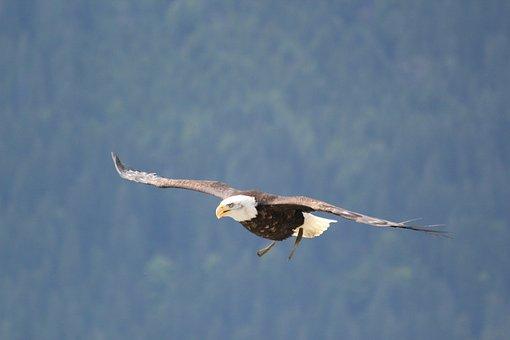 Birds, Navy Eagle, Eagle