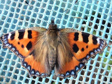 Tortoiseshell, Butterfly, Macro, Orange, Color, Natural
