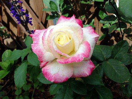 Rose, Flower, Roses, Flora, Pink, Bloom, Fragrance