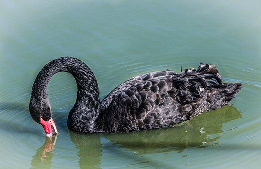 Black Swan Feeding, Swan, Cygnus Atratus, Water Bird