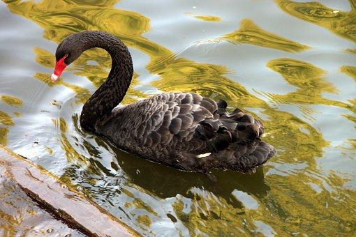 Atratus, Black, Cygnus, Lake, Swan, Swimming, Water