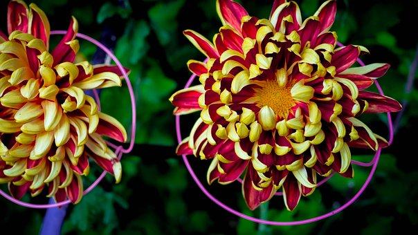 Chrysanthemum, Phase Paradise, Tomoenishiki