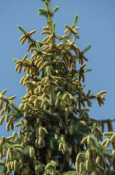 Spruce, Tree, Conifer, Cones, Needles, Branch, Outdoors