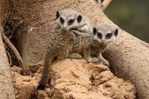 Meerkat, Brothers And Sisters, Young Animals, Mammals