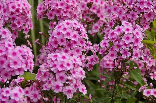 Phlox, Pink, Beautiful, Farbenpracht, Flowers, Flora