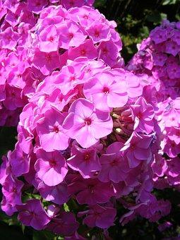 Blooms, Flowers, Garden, Paniculata, Perennial, Phlox