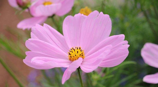 Cosmos, Cosmea Bipinnata, Flower, Blossom, Bloom, Pink