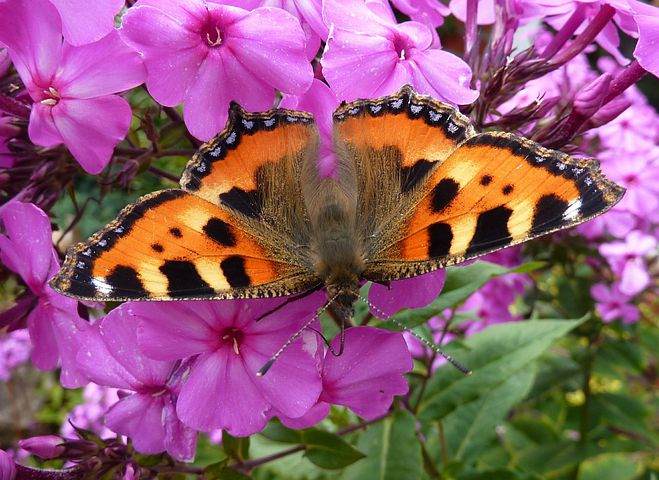 Little Fox, Butterfly, Flowers, Flox, Purple