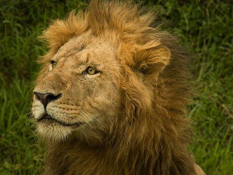 Animal, Big, Carnivore, Cat, Danger, Eye, Fur, Grass