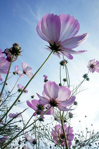 Autumn, Sky, Cosmos, Flowers, Plants, Nature, Purple