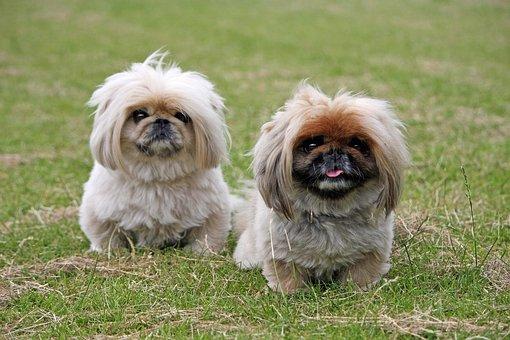Pekingese, Dogs, Cute, Animal, Pet, Small, Breed