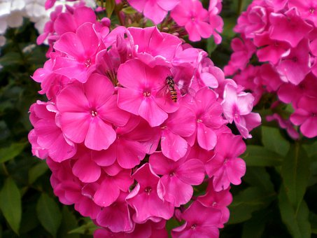 Phlox, Blossom, Bloom, Plant, Flower, Discounts