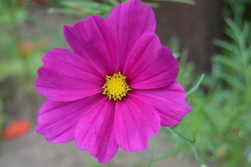 Onętki, Cosmos, Cosmos Bipinnatus, Onętek, Flower