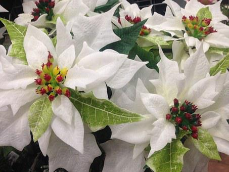 Poinsettia, Flower, White