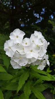 White Garden Phlox, Flower, Flowering Time, White