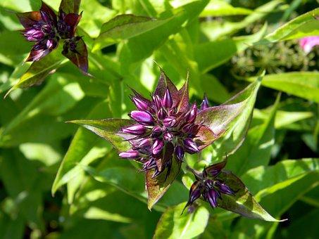Phlox, Floksa Buds, Flower, The Buds, Flowers, Leaves