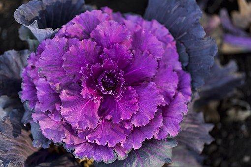 Cabbage, Vegetable, Fresh, Fresh Vegetables, Organic