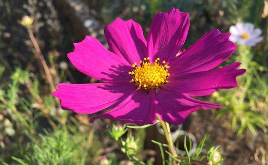 Cosmos, Garden, Flowers, Garden Flower, Pink, Autumn