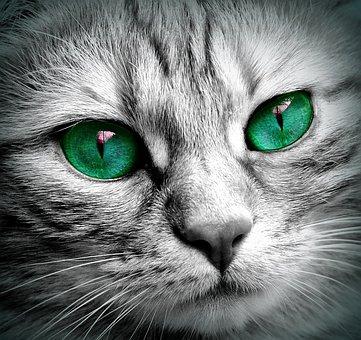 Cat, Face, Tiger, Close, Eyes, Face Cat, Pet, Kitten