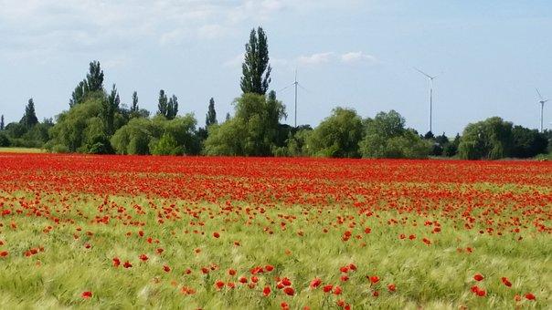 Summer, Klatschmohn, Poppy, Poppy Flower, Flower