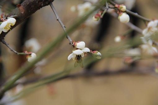 Luogang Hornsey, Sea Of Flowers, Pear, Bee, Flowering