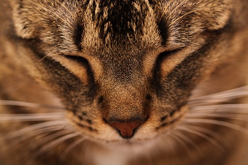 Cat, Mainecoon, Animals, Sleeping, Head