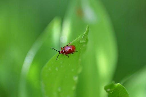 Beetle, Lily Of The Valley, Sheet, Green, Nature