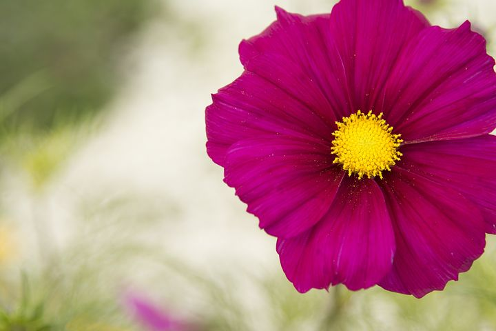 Cosmos Plant, Flower, Pink, Offset, Nature, Petal, Card
