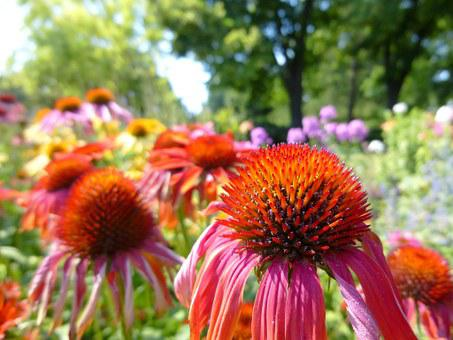 Kúpvirág, Echinacea, Colorful Flower, Ornamental Plants