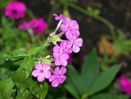 Phlox, Pink, High Perennial Phlox, Phlox Paniculata