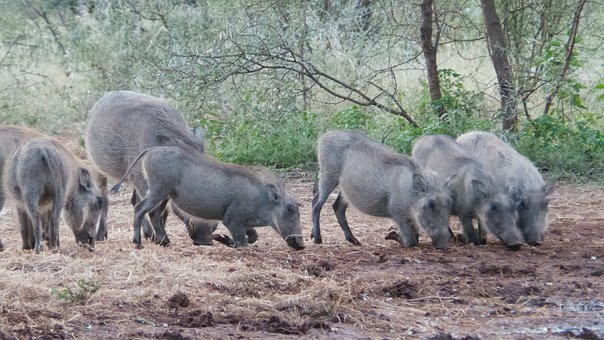 Warthogs, Pigs, Africa, Limpopo
