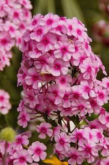 Phlox, Pink, Pink Flower, Beautiful, Farbenpracht