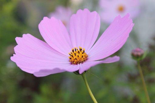 Kosméâ, Flowers, Pink, Plants, Cosmos, Garden, Nature
