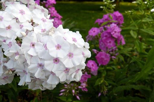 Phlox, Flame Flower, Plant, White, Pink, Violet