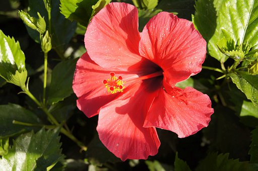 Hibiscus, Hibiscus Syriacus, Rose, Chinese, Poślubnik