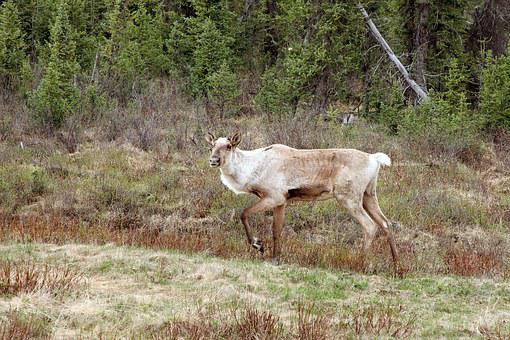 Caribou, Animal, Nature, Wildlife, Reindeer, Mammal