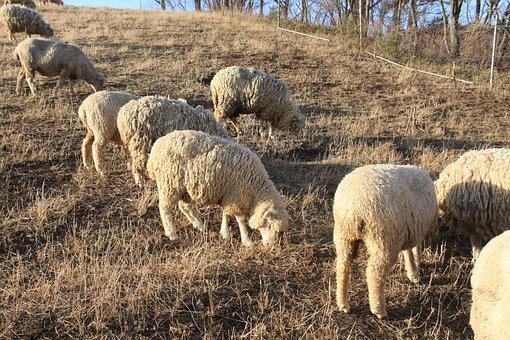 Yang, A Flock Of Sheep, Daegwallyeong, The Flock