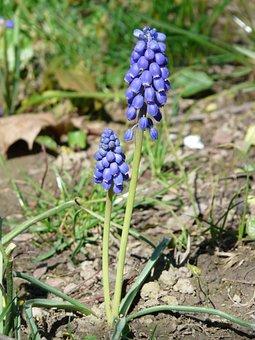 Armenian Traubenhyazinthe, Flower, Blossom, Bloom, Blue