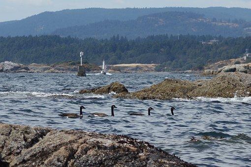 Canada, Geese, Victoria, Bc, Ocean