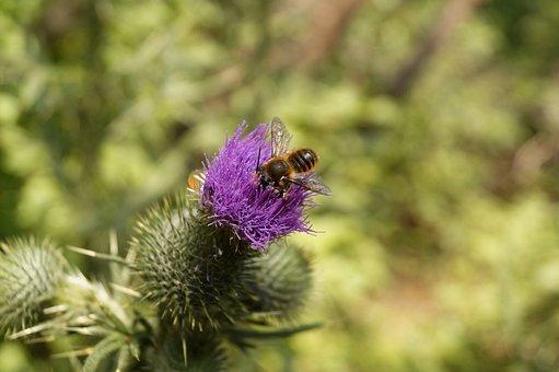 Thistle, Bee, Mézgyűjtés, Forest, Summer, Insect