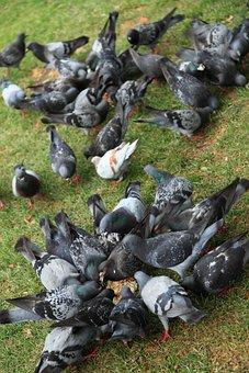 Animal, Bird, Birds, Dove, Eat, Feather, Feed, Feeding