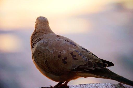Birds, Gray Dove, Pigeon, Fauna, Sunset, Rear View