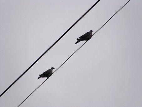 Pigeons, Wood-pigeons, Birds, Nature, Animal